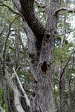 麦哲伦森林在火地群岛国家公园  免版税库存照片