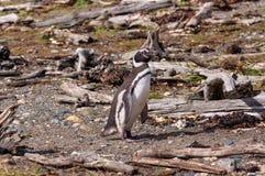 麦哲伦(Magellanic)企鹅 库存照片