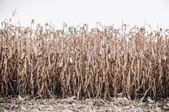 麦地成熟收获美丽的树干天空 免版税库存图片