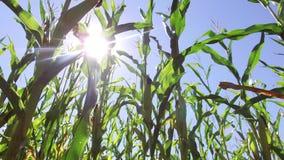 麦地玉米运动视频农厂steadicam种田 绿草农业美国自然美国玉米农场 免版税库存照片