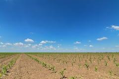 麦地绿色年轻人 行甜玉米领域 图库摄影
