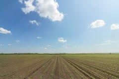 麦地绿色年轻人 行甜玉米领域 免版税图库摄影