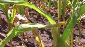 麦地行动玉米农厂steadicam种田 绿草农业美国自然录影美国玉米农场 图库摄影