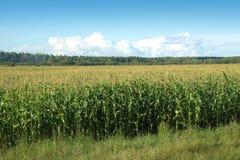 麦地边缘在夏天天空和森林下 库存图片