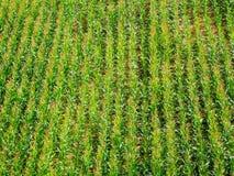 麦地绿色 图库摄影