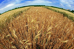 麦子不同的品种在鱼眼睛图6的 免版税库存照片