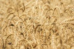麦子五谷的成熟金黄耳朵在萨拉托夫地区领域 农业 图库摄影