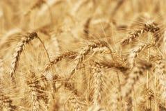 麦子五谷的成熟金黄耳朵在萨拉托夫地区领域 农业 库存图片