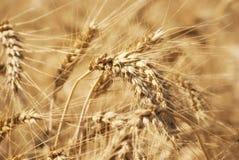 麦子五谷的成熟金黄耳朵在萨拉托夫地区领域 农业 免版税库存照片