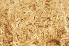 麦子五谷的成熟金黄耳朵在萨拉托夫地区领域 农业 库存照片