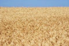 麦子五谷的成熟金黄耳朵在萨拉托夫地区领域 农业 免版税库存图片