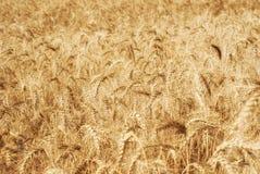 麦子五谷的成熟金黄耳朵在萨拉托夫地区领域 农业 免版税图库摄影