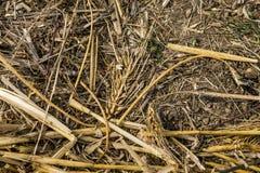 麦子五谷种子在棕色土壤完善的光的在收获以后在夏天 免版税库存图片