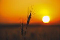 麦子关闭的小尖峰在背景日落 免版税库存图片