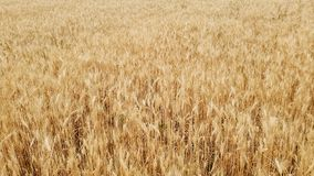 ?? 麦子关闭的耳朵 收获和收获概念 金黄麦子摇摆的领域 r 股票视频