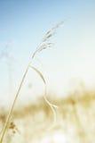 麦子冬天 库存图片