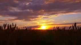 麦子剪影在一个领域的在日落背景 免版税库存图片