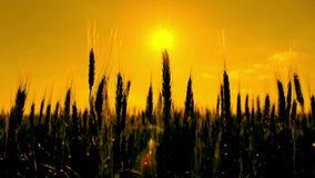 麦子剪影在日落的 股票录像