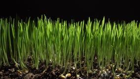麦子发芽新芽  免版税库存照片
