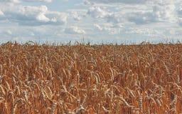 麦子和与分类的蓝天的金黄小尖峰在农田的 库存图片