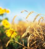 麦子和向日葵 免版税库存图片