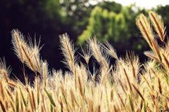 麦子和树 免版税库存照片
