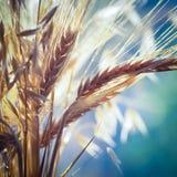 麦子和燕麦 免版税图库摄影