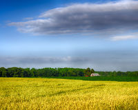 麦子和玉米成长在农场 免版税库存图片