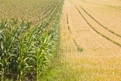 麦子和玉米-最好的朋友! 免版税图库摄影