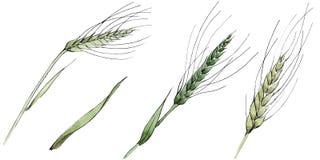 麦子和草叶的绿色耳朵 r 被隔绝的角宿例证元素 向量例证