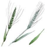 麦子和草叶的绿色耳朵 r 被隔绝的角宿例证元素 皇族释放例证