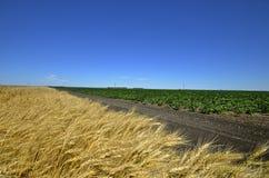 麦子和豆庄稼之间的土道路 免版税库存照片