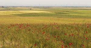 麦子和鸦片领域 库存图片
