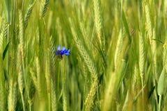 麦子和麦子花 免版税图库摄影