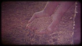 麦子在农夫的手上 人检查收获运转的手,粗砺的皮肤 股票视频