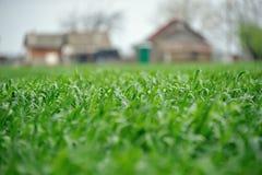 麦子在庭院里增长在房子附近 库存图片