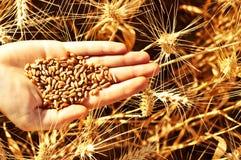 麦子在手中 图库摄影