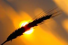 麦子在日落的耳朵剪影 图库摄影