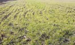 麦子在春天在领域的发芽 在冬天特写镜头以后的冬天植物与迷离 图库摄影