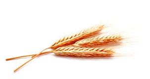 麦子在白色背景隔绝的耳朵玉米 库存图片