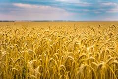 麦子在秋天 黄色域和蓝天 库存照片