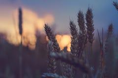 麦子在自然由后照的光的耳朵蒸汽 库存照片