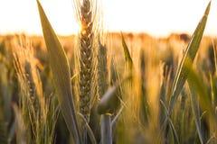 麦子在金黄日落或日出的农田 免版税库存图片