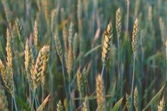 麦子在阳光下,麦子耳朵在阳光下 库存图片