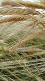 麦子在领域成熟 免版税库存图片