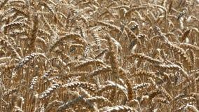 麦子在风的庄稼摇动 股票视频