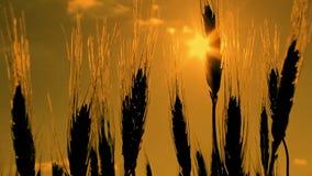 麦子在黎明或日落 股票视频