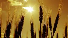 麦子在黎明或日落 股票录像