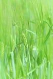 麦子年轻人 免版税图库摄影