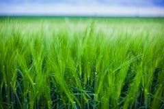 麦子庄稼 库存图片